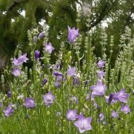 No.12 Native Harebell
